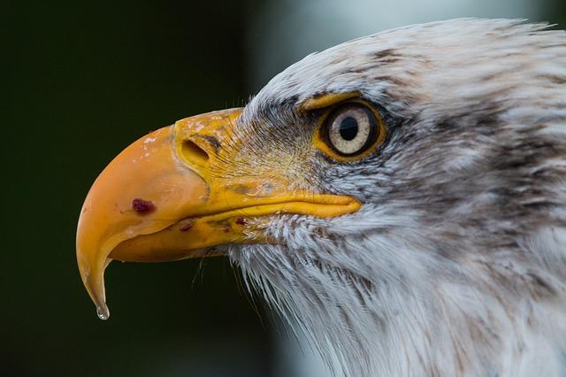bald-eagle-1728739_640